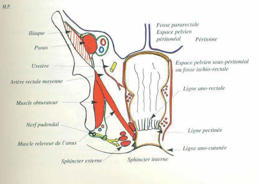 Anatomie de la sphère ano-rectale | Rééducation Périnéale et Ano-rectale